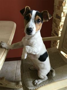 20 Jack Russell Terrier dog photos you& love - photos . - 20 Jack Russell Terrier Dog Photos You& Love 20 Jack - Perros Jack Russell, Chien Jack Russel, Jack Russell Puppies, Jack Russell Mix, Pitbull Terrier, Rat Terriers, Terrier Mix Dogs, Jack Russell Terriers, Parson Russell Terrier