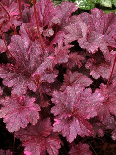"""Heuchera, Midnight Rose. Hot pink splashes on deep obsidian leaves will enlarge and brighten gradually to cream through the season. Dark, bold and beautiful in sunny locations. A sport of Obsidian. 10-24"""" height."""