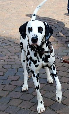 Dalmatians I have a 14 year old. He is having a hard time getting up and down now but he is the best dog I every had. I adopted him when he was 2 1/2.