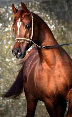 Stallion: Georgian A Stallion: Georgian Arabian