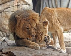 by National Geographic Nature Animals, Animals And Pets, Baby Animals, Cute Animals, Beautiful Lion, Animals Beautiful, Lion Couple, Lion And Lioness, Lion Love