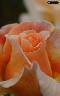 Ooty Rose Garden by safrasahamed, via Flickr