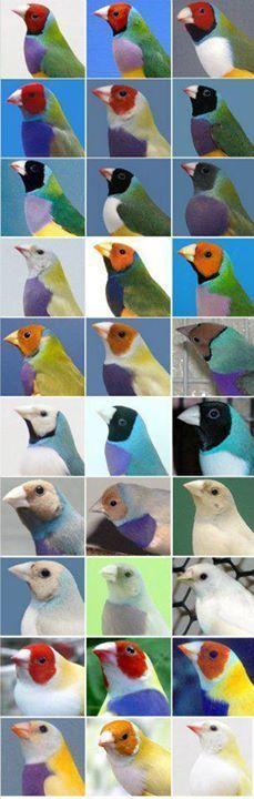 Color mutations of Lady Gouldian Finches Exotic Birds, Colorful Birds, Pretty Birds, Beautiful Birds, Bird Identification, Kinds Of Birds, Bird Types, Birds In The Sky, Bird Aviary