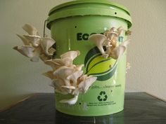 Elm oyster mushrooms growing out of a 5 gallon bucket with the 100th Monkey Mushroom Farms garden kit.
