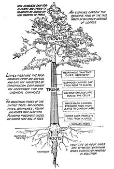 parts of a tree | Parts of a Tree, Use These Tree Parts to Identify a Tree. Helpful for Girl Scout Cadette's working on their tree badge
