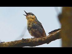 Brhlík lesní - The Eurasian nuthatch (Sitta europea) - Zpěv/Song Beetles, Bird, Youtube, Animals, Animales, Animaux, Birds, Animal, Animais
