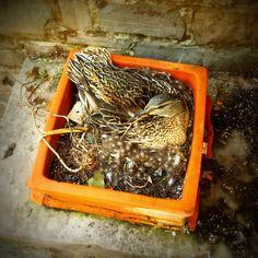 Mama duck nesting at Mirbeau.