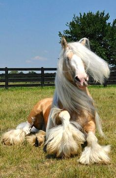 Gypsy Horse with beautiful feathering