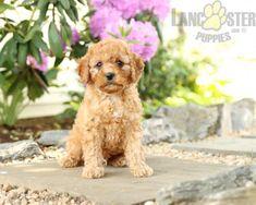#PoodleMix #Charming #PinterestPuppies #PuppiesOfPinterest #Puppy #Puppies #Pups #Pup #Funloving #Sweet #PuppyLove #Cute #Cuddly #Adorable #ForTheLoveOfADog #MansBestFriend #Animals #Dog #Pet #Pets #ChildrenFriendly #PuppyandChildren #ChildandPuppy #LancasterPuppies www.LancasterPuppies.com Poodle Mix Puppies, Cute Puppies, Lancaster Puppies, Animals Dog, Puppies For Sale, Mans Best Friend, Puppy Love, Handsome, Teddy Bear