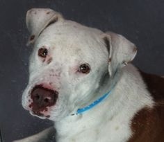 *APACHE-ID#A694440    Shelter staff named me APACHE.    I am a male, brown and white Pit Bull Terrier.    The shelter staff think I am about 3 years old.    I have been at the shelter since Jan 17, 2013.