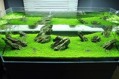 Viktor Lantos, Hemianthus callitrichoides. Green Aqua Showroom