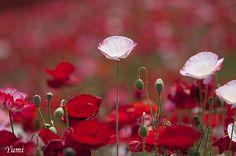 prettylittleflower:    poppy (by * Yumi *)