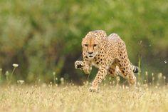 cheetah running | Cheetah running | Flickr - Photo Sharing!