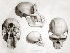 The skulls of chimpanzees of various ages. Chimpanzé Troglodyte