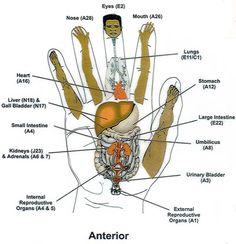 ~ Hand Reflexology...Anterior ~