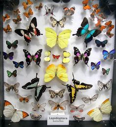 Colorful butterfly collection.  Aren't nature's colors amazing?