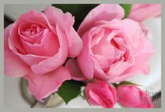 pink roses~ These look like my great-grandmother's roses that I inherited.