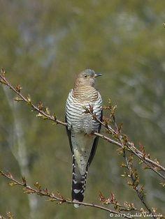 Nederlandse gevogelte: Koekoek