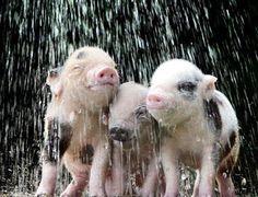 I love lil piggies!