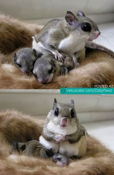 Daily Paws Picture of the Day: Japanese Dwarf Flying Squirrel and her babies…