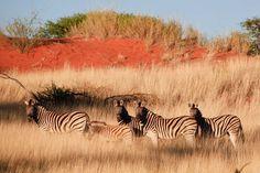 Zebra in the Kalahari in Namibia.