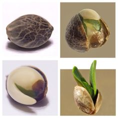 growing seed ( marijuana cannabis )