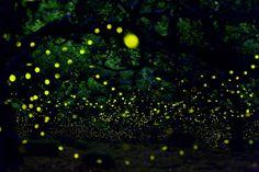 Magical Long Exposure Photos of Fireflies in Japan - My Modern Met