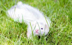 9 weeks old ferret