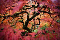Un arce japonésen el Jardín Japonés de Portland