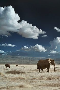 Elephants in Infrared   Mount Kilimanjaro ~ By Mitchell Krog this-is-wild: