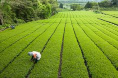 Traditional Japanese green tea plantation, Shizuoka