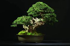 Parlons Bonsai - Interview de François JEKER