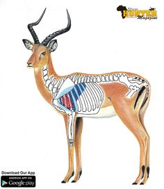 Impala Shot Placement Guide - Impala Hunting Tip: When horn tips are vertical the animal is fully mature Africa Hunting, Boar Hunting, Hunting Tips, Hunting Rifles, Archery Hunting, Hunting Stuff, Shooting Targets, Archery Targets, Outdoor Survival Gear