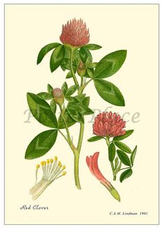 Red Clover Antique Botanical print reproduction by PosterPlace, $3.95