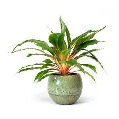 Chlorophytum orchidastrum Green Orange Spider Plant - Purify Your Air - Hortology Air Cleaning Plants, Air Plants, Lush Green, Green And Orange, Orange Store, Orange Spider, Chlorophytum, Indoor Plant Pots, Indoor Gardening