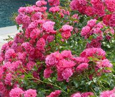 Die 13 Besten Bilder Von Bodendecker Rosen Plants Gardens Und