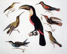 Friedrich Alexander, Baron von Humboldt - Native birds, including the Toucan (centre), Amazon, Brazil, from 'Le Costume Ancien et Moderne', Vo