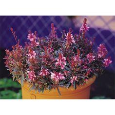 Plant-gaura 140mm Crimson Butterflies