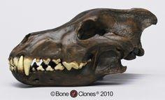 Dire Wolf Skull Tarpit Finish - Bone Clones, Inc. - Osteological Reproductions