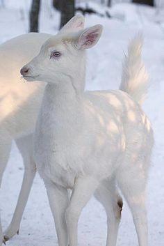 Most Cute Albino Deer I've Ever Seen!