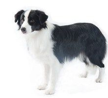 The Border Collie is a herding dog breed developed in the Anglo-Scottish border region for herding livestock, especially sheep. Collie Breeds, Collie Dog, Herding Dogs, Purebred Dogs, Labrador Retriever, Best Dog Breeds, Best Dogs, Medium Sized Dogs Breeds, Dog Breed Selector