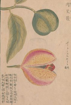 肉荳蔲(ナツメグ)  Nutmeg  Myristica fragrans Houtt.   本草図譜 岩崎 灌園, Honzo-Zufu, KanEn Iwasaki (1830)