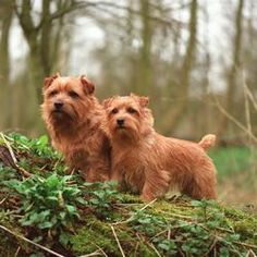 Norfolk Terrier ~ Top Dogs and Puppies Norfolk Terrier, Norwich Terrier, Terrier Breeds, Terrier Dogs, Cairn Terriers, Cute Dogs Breeds, Dog Breeds, Lucas Terrier, I Like Dogs
