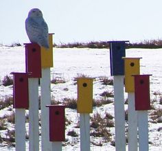 Snow Owl sitting on Bird Houses  Parc Downsview Park, Toronto, ON, Canada