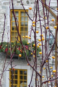 pretty - love the overflowing window planter in the background. Love the yellow window panes. And whomever noticed these berries w/ the view beyond - good eye!