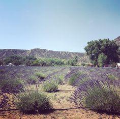 #newmexicotrue #lavenderfestival @purpleadobelavenderfarm