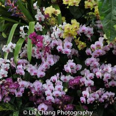The New York Botanical Garden #orchidnybg #orchidelirium @nybg #orchids #orchid  2016-3-9 Orchids_photo by Lia Chang-3157