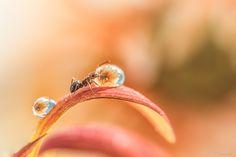 【あり  螞蟻  Ants】          Drop & Ant by Y.Yamashita Photography