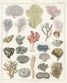 Sea Corals from Lorenz Oken Abbildungen Naturgeschichte für alle Stände Prints 1843