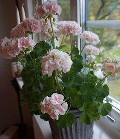 Min första pelargon jag övervintrat. Har tagit in den för att få njuta av all blomsterprakt. Hur ska jag kunna sätta ner detta vackra i en mörk matkällare som jag gjorde förra hösten? Väntar nog allt lite till...Eller? Kan man det?// My first geranium I hibernated. Have taken it inside and put it in the window to get to enjoy all the flowers. It's getting dark so early now. #pelargon #geranium #imittfönster #inmywindow #rosablommor #pinkflowers #vackrablommor #flowerslover #instaflower…